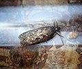 -0802a- Gelechia sororculella (44361811262).jpg