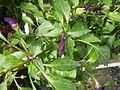 0998Ornamental plants in the Philippines 18.jpg