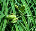 1024 Rispige Graslilie (Anthericum ramosum)-2705.jpg