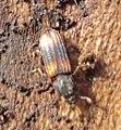 15 04 09 (191) Coleoptera (3448045236).jpg