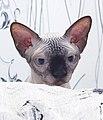 1 adult cat Sphynx. img 030.jpg