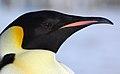 2007 Snow-Hill-Island Luyten-De-Hauwere-Emperor-Penguin-60.jpg