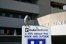 "A northern mockingbird on top of a Duke University Hospital sign reading ""Duke medicine is 100% tobacco-free INSIDE AND OUTSIDE"" in Durham, North Carolina"