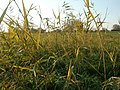 20111101Phragmites australis05.jpg