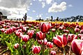 2013 Tesselaar Tulip Festival (9870975646).jpg