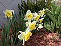 2014-04-21 11 01 19 Daffodlis in Elko, Nevada.JPG