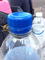 2014-08-24 14 25 22 Yellow Jacket on a Pepsi bottle at Pennridge Airport in East Rockhill Township, Pennsylvania.JPG
