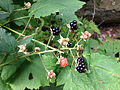 2014-08-28 10 20 15 Blackberries along Lake Road at Spring Lake in Berlin, New York.JPG