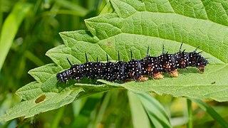 Babôčka pávooká (Inachis io) - larva (húsenica)