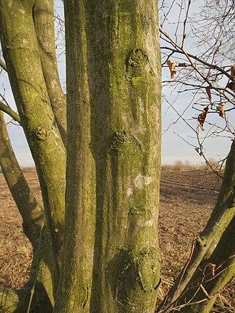 Hornbeam - Hornbeam trunk