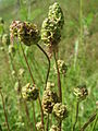 20140523Sanguisorba minor2.jpg