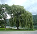 2014 Bald Eagle State Park weeping willow.jpg