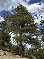 2015-04-30 15 45 20 Ponderosa Pine along the Trail Canyon Trail in the Mount Charleston Wilderness, Nevada about 2.0 miles north of the trailhead.jpg