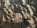 20150317Phragmites australis1.jpg