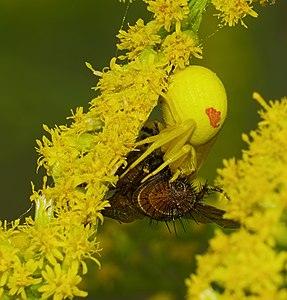 Flower (crab) spider - Misumena vatia, female with prey.