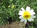 2017-03-23 Crowndaisy (Chrysanthemum coronarium), Cerro Grande, Albufeira.JPG