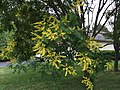 2017-06-22 17 29 29 Goldenrain Tree blossoms along Kinross Circle near Ravenscraig Court in the Chantilly Highlands section of Oak Hill, Fairfax County, Virginia.jpg