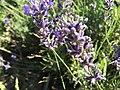 2017-07-02 Lavender 05.jpg