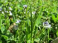20170424Veronica serpyllifolia1.jpg