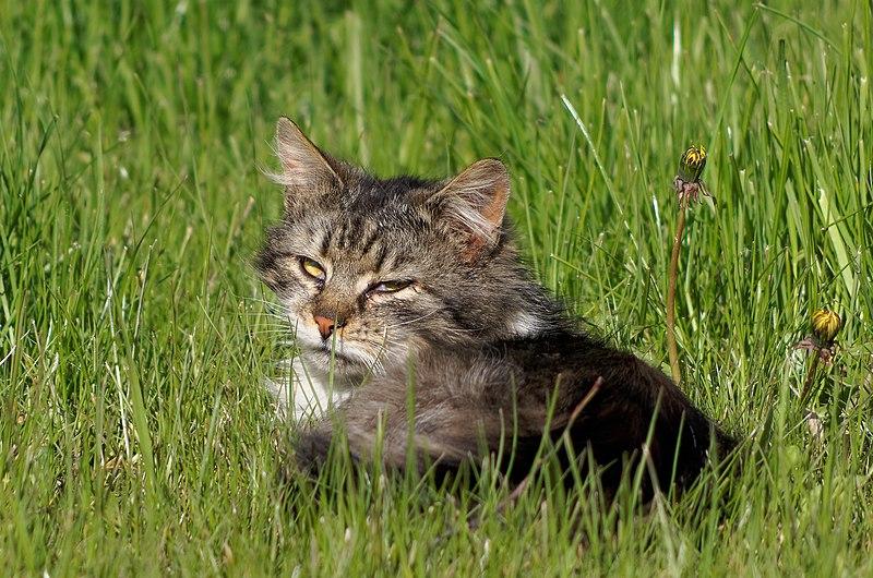 File:20170501 Kot w trawie 6202.jpg