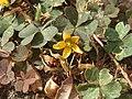20170929Oxalis corniculata2.jpg
