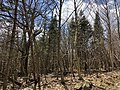2018-04-28 13 57 51 Balsam Fir trees growing along the Lower Hawksbill Trail in Madison County, within Shenandoah National Park, Virginia.jpg