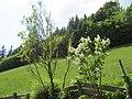 2018-05-13 (236) Salix matsudana tortuosa (chinese willow) and Syringa (lilac) at garden at Bichlhäusl in Frankenfels, Austria.jpg
