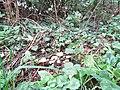 2018-09-12 Fungi, 'The Green' Paston Way footpath, Knapton.JPG