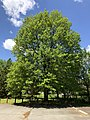 2020-05-04 13 03 55 Pin Oak leafing out in spring within Franklin Farm Park in the Franklin Farm section of Oak Hill, Fairfax County, Virginia.jpg