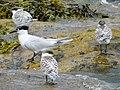 2020-07-18 Thalasseus sandvicensis, St Marys Island, Northumberland 12.jpg