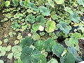 2020-08-16 16 51 54 American Lotus flower and leaves in Swartswood Lake within Stillwater Township, Sussex County, New Jersey.jpg