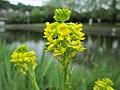 20200501Barbarea vulgaris2.jpg