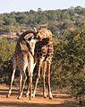 2 giraffes necking (14131839404).jpg