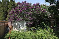 45 year old Purple Syringa (Lilac) tree in bull bloom.JPG