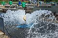 Aérateur en action, l'eau doit être régulièrement oxygénée.jpg