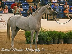 AA Couture (Mishaal HP x Bint Bint Aminaa) in the World Class colts Class at the 2009 Egyptian Event (3636510363).jpg