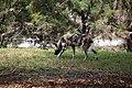 AFRICAN WILD DOG (14027282553).jpg