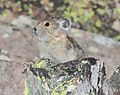 AMERICAN PIKA (Ochotona princeps) (8-19-13) 9000 ft, just s of stunner pass, conejos co, co -01 (9592444667).jpg