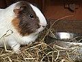 A Guinea pig.jpg