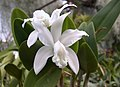 A and B Larsen orchids - Cattleya forbesii alba DSCN2712.jpg