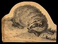 A badger (Meles vulgaris). Etching. Wellcome V0021481.jpg