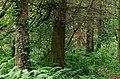 A ferny corner of Hillsborough forest - geograph.org.uk - 1506666.jpg