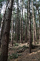 A fir plantation at Theydon Mount Essex England 09.JPG