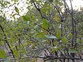 A image of Lawsonia inermis.JPG