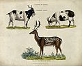 A male and female domestic goat and a fallow deer stag. Colo Wellcome V0021557.jpg