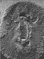 A monograph of the terrestrial Palaeozoic Arachnida of North America photos 6-10 8.png