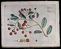 A species of Sapotaceae; branch with flowers and fruit, sepa Wellcome V0042616.jpg
