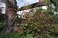Abbess Roding Essex England - Photinia × fraseri.jpg