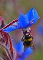Abejorro libando una borraja 02 - bumble bee sucking a borage flower - borinot libant una borraina (2480945091).jpg