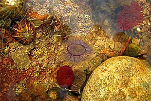 list of british isles rockpool life wikipedia
